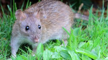 A brown rat standing in a lawn.