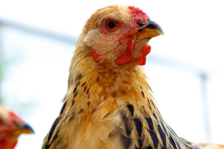 a close-up of a chicken